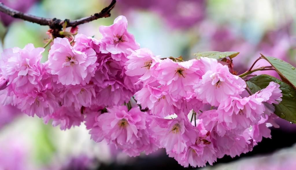 Сакура. Пословицы на японском о сакуре