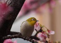 О цветении сакуры. Интересные выражения и лексика