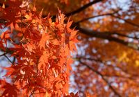 О любовании осенней листвой в Японии: 紅葉 и другие интересные слова