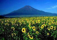 14 июля - день подсолнуха. О роли подсолнуха в японской культуре