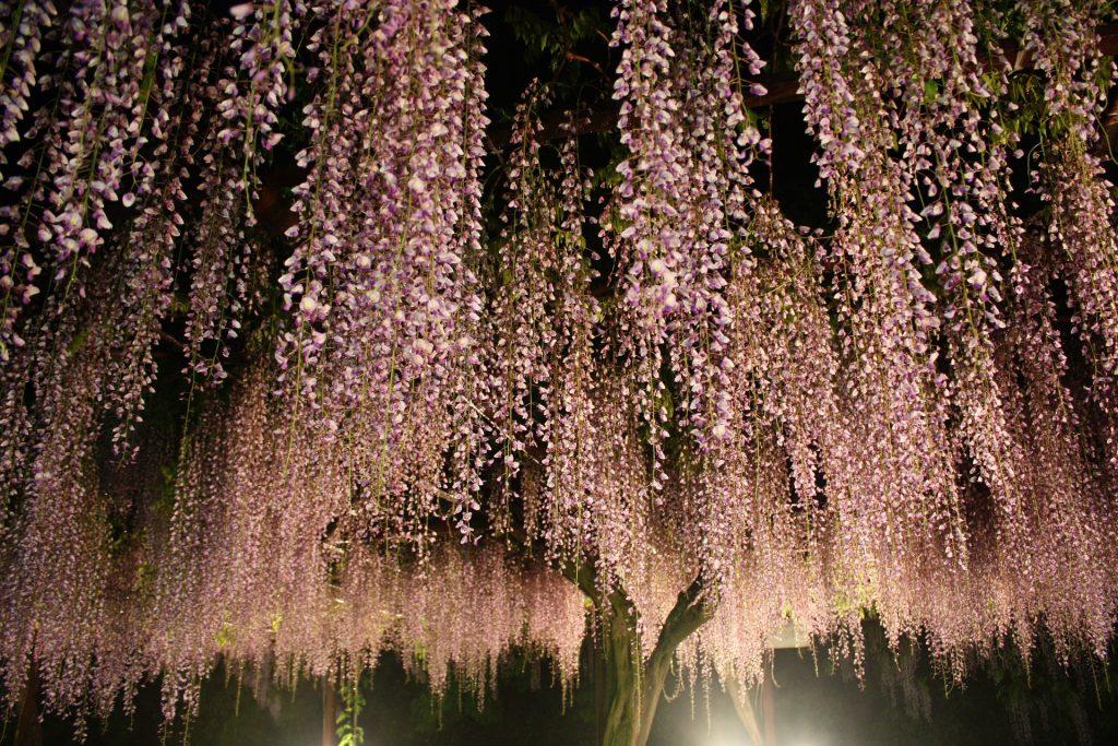 Немного о глициниях в японской культуре