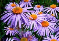 Тематическая лексика японского: названия популярных осенних цветов